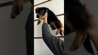 Full show quality German Shepherd puppies available at Ludhiana Punjab mobile no 9915031056