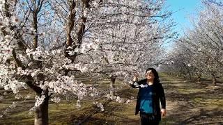 Beautiful Blossoms 2/25/2018-Paj Txiv Zoonkauj Heev