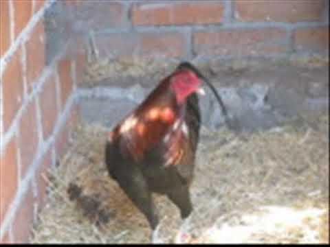Gallos de pelea 2010
