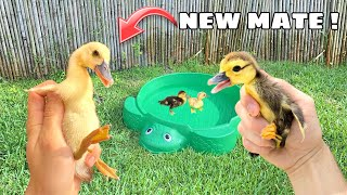RESCUED BABY DUCK GETS A NEW FRIEND !