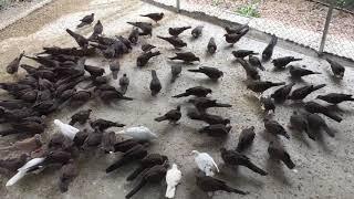 Trại chim cu gáy văn yên yên Bái