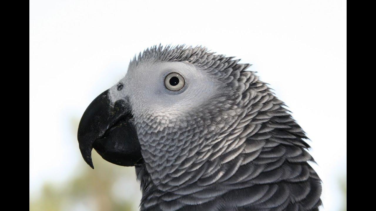 Grey bird wallpaper
