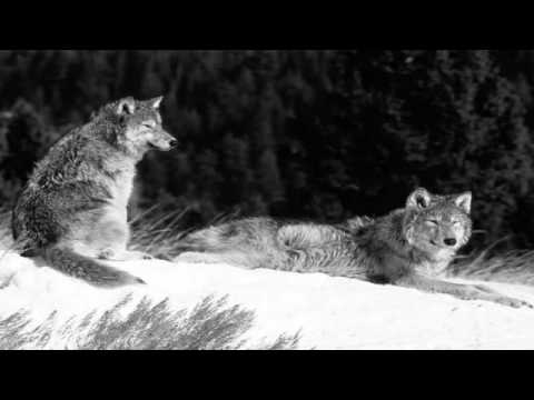 Agalloch - The Wolves Of Timberline