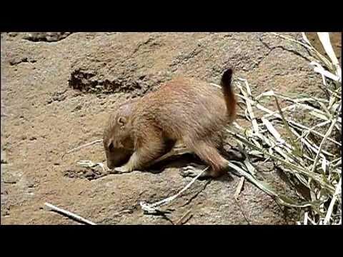 プレーリードッグの赤ちゃん。Baby Prairie Dog.Edogawa Zoo.#05