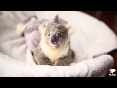 Koala joey plays in baby basket during first ever photoshoot