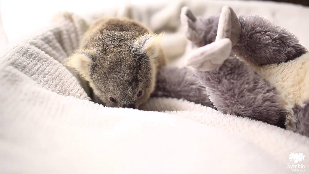 Így pózolt a koala élete első fotózásán - videó
