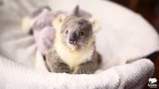 Come�a A Fotografar Um Beb� Koala, Mas Ningu�m Esperava Um Modelo Assim!