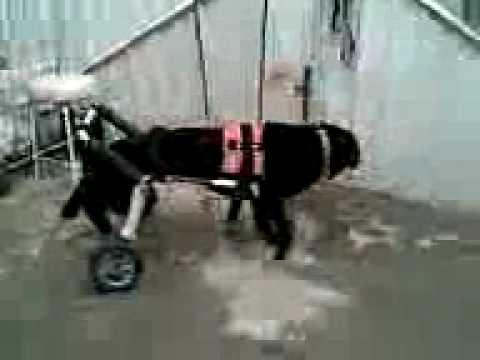 sillas de ruedas para perro discapacitado car-can www.car ...