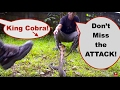 King Cobra Thailand Conservation - Rescue, Attack, Release