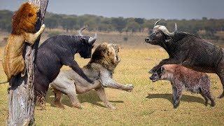 Wild Animals 2018 || Lion vs Buffalo vs Cheetah - Hungry Lions vs an angry buffalo herd