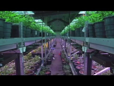Recreational marijuana tax holiday in Colorado: September 16, 2015 only 2.9% sales tax and local tax