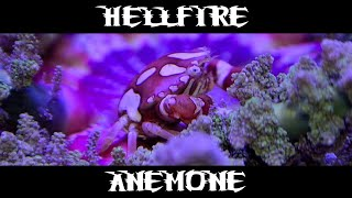 Lethal Dangerous Hellfire Anemone