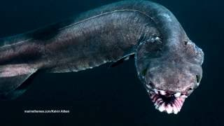 The Frilled Shark is One Frightening Fish