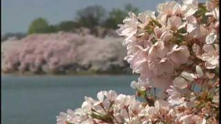 Why Japan gave Cherry Blossom Trees to Washington DC