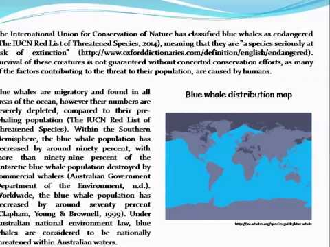 The importance of the blue whale to the aquatic ecosystem, and threats to its survival
