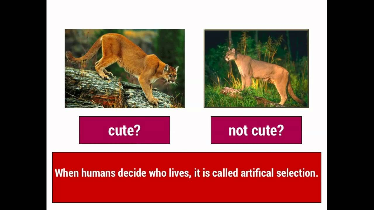 natural selection and artificial selection in dogs Dog breeds: an example of artificial selection  in nature, the most well-adapted  animals are more likely to survive and reproduce, but in dog.
