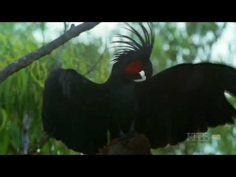 Parrots in the Land of Oz: Hello, Palm Cockatoo!