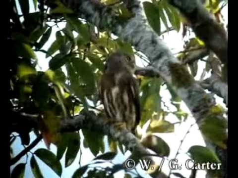Header of Amazonian Pygmy Owl