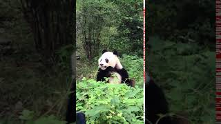 TRY NOT TO LAUGH , panda Videos , Funny Videos 0216 1 6
