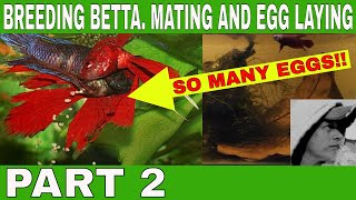 HOW TO BREED BETTA. MATING AND EGG LAYING. PART 2