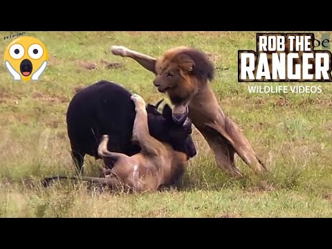 Unbelievable! Male Lions Attack Buffalo!