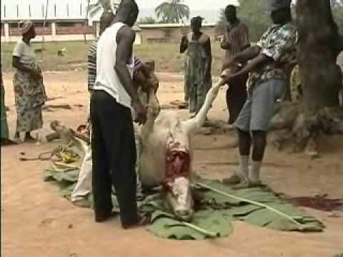 Steer slaughter