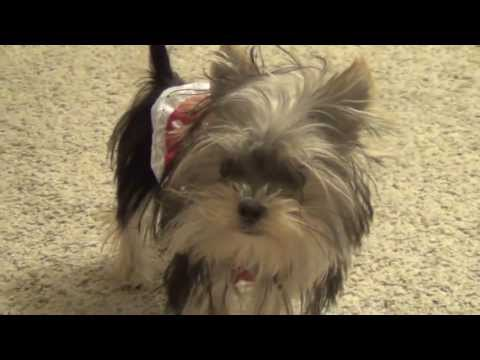 Cute Yorkie Puppy Playing Misa Minnie 32 wks