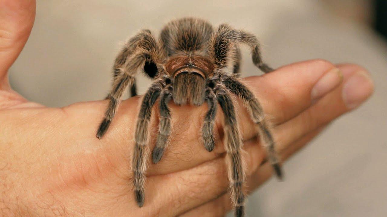6 rose hair tarantula facts amp care tips pet tarantulas