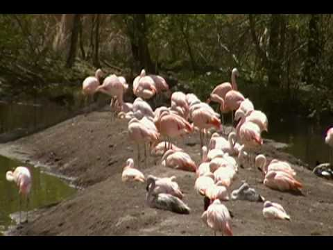 Chilean Flamingos At The Bronx Zoo Video