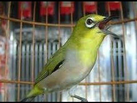 Kicau Burung Pleci Yang Bagus video