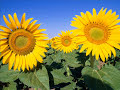 Sunflowers For Alfred Roy - Mariah Carey