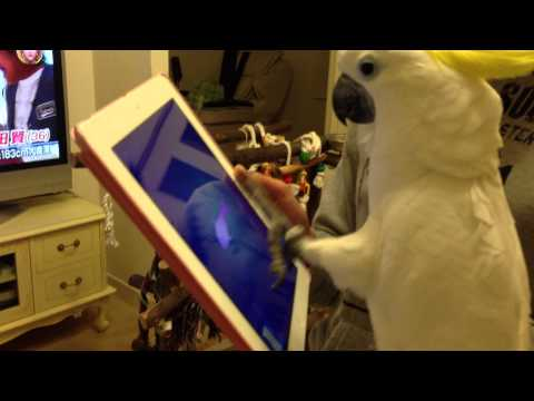 iPadで遊ぶオウム(Cat Fishing)
