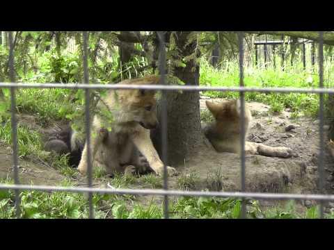 2011年7月4日 旭山動物園 シンリンオオカミ2