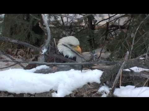 Captain Quinn catches a bald eagle with his bare paws