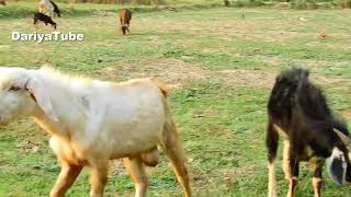 Funny Goats Climb Successfully 2018 - Funny Baby Goats Compilation 2018