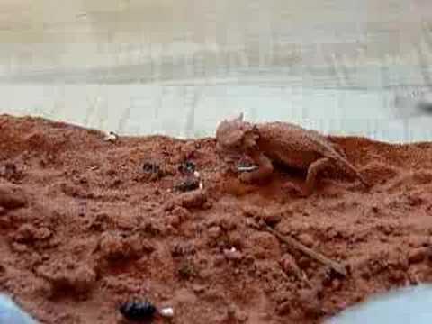 Lizards Eat Ants Desert Horned Lizard Eating