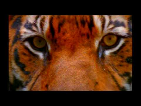 Last chance to save the Wild Tiger? | WWF