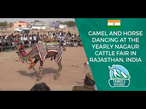 Camel And Horse Dancing At The Yearly Nagaur Cattle Fair In Rajasthan, India video