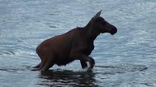 Baby Moose swims across lake