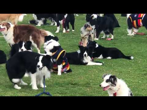Almost 600 Border Collies Gather in Attempt to Bre MP3