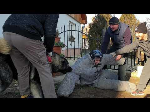 Kaukázusi juhászkutya 15 hónapos kan első tesztje