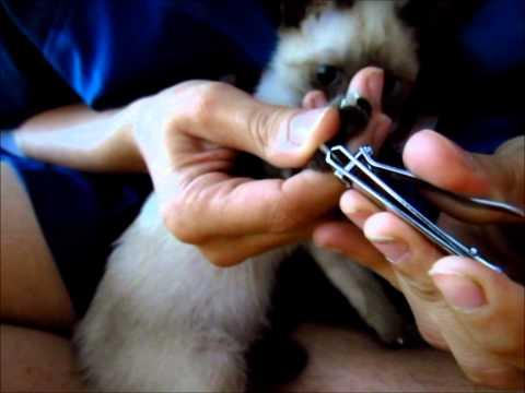 Como Cortarle Las Uñas A Tu Gato Con Un Corta Uñas Común Sin Lastimarlo - SiamCatChannel