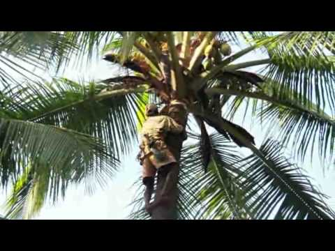 How To Climb to Coconut Tree