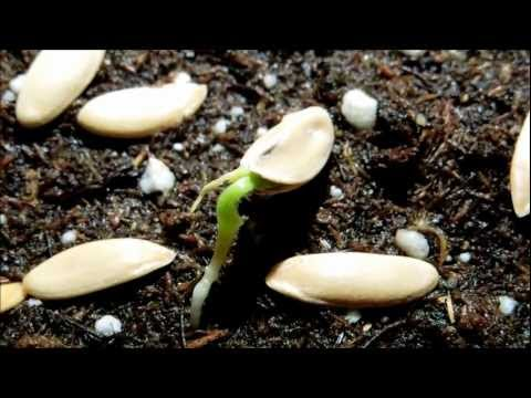Growing Honeydew Melon from Seeds, Days 6-10