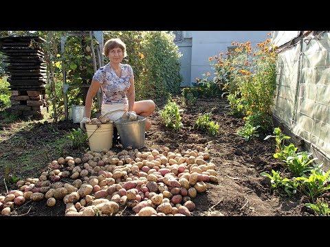 Дача. Урожай картофеля. Цветочки.