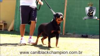 Canil Black Champion - Ilka Brutus Black Champion