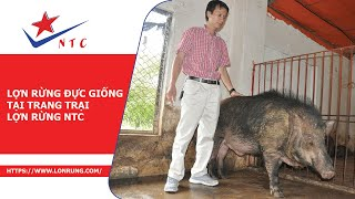 Lợn rừng đực giống tại trang trại lợn rừng NTC