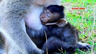 Very Lucky Baby Monkey Lizza Getting Full Milk Every Day, Both Morning& Afternoon, Great Mom