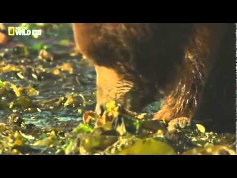 Медведи острова Страха  Аляска