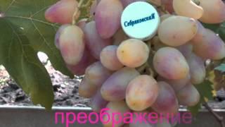 мои сорта винограда